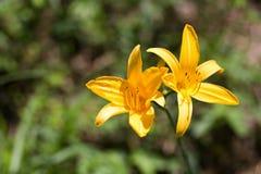 2 желтых цветка лилии Стоковые Изображения