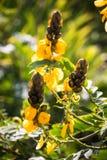 3 желтых цветка куста попкорна Стоковые Изображения RF