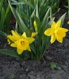 2 желтых цветка на цветнике Стоковые Изображения