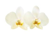 2 желтых цветка орхидеи Стоковая Фотография