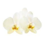 2 желтых цветка орхидеи Стоковые Фотографии RF