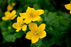 3 желтых цветка против предпосылки зеленых листьев Стоковая Фотография
