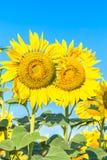 2 желтых цветка солнцецветов Стоковые Изображения