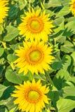 3 желтых цветка солнцецветов Стоковые Изображения RF