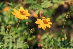 2 желтых цветка с пчелой Стоковое Фото