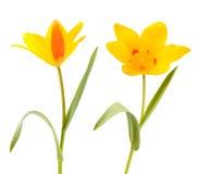 2 желтых цветка тюльпана Стоковое фото RF