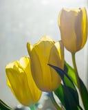 3 желтых цветка тюльпана Стоковое Фото
