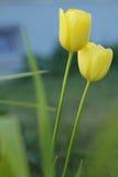 2 желтых цветка тюльпана Стоковые Изображения