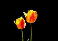 2 желтых цветка тюльпана Стоковая Фотография