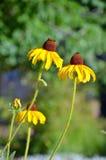 2 желтых цветка эхинацеи Стоковые Изображения RF