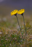 2 желтых цветка Стоковые Фотографии RF