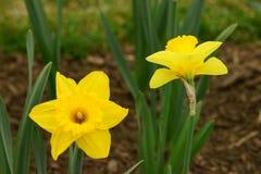 2 желтых цветка daffodil в цветнике Стоковое фото RF