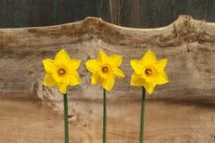 3 желтых цветка Daffodil - Narcissus Стоковые Фото