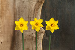 3 желтых цветка Daffodil - Narcissus Стоковая Фотография RF