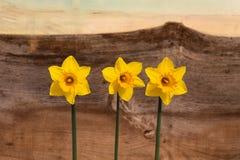 3 желтых цветка Daffodil - Narcissus Стоковая Фотография