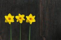 3 желтых цветка Daffodil - Narcissus Стоковое Фото