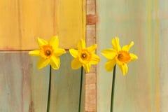 3 желтых цветка Daffodil - Narcissus Стоковое фото RF