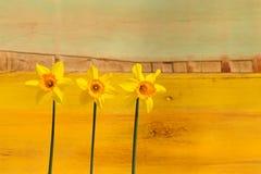 3 желтых цветка Daffodil - Narcissus Стоковые Изображения RF