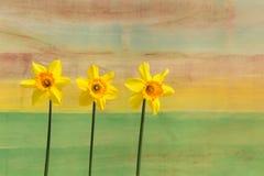 3 желтых цветка Daffodil - Narcissus Стоковые Фотографии RF
