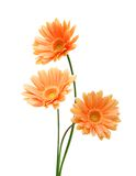 3 желтых цветка Gerber Стоковое Фото