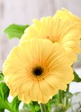 3 желтых цветка gerbera в ряд Стоковое Изображение RF