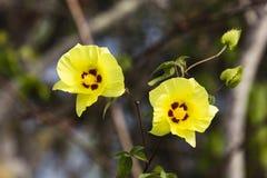 2 желтых цветки и pistils Стоковые Фотографии RF