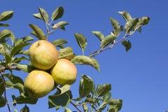 3 желтых яблока на ветви яблони в солнечном свете Стоковое фото RF