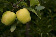 2 желтых яблока на дереве Стоковое Изображение