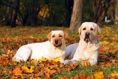 2 желтых labradors в парке в конце осени вверх Стоковое Изображение