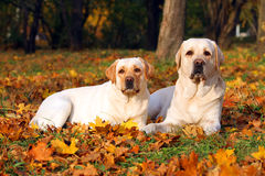 2 желтых labradors в парке в конце осени вверх Стоковое фото RF