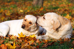 2 желтых labradors в парке в осени Стоковое Изображение RF