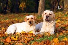 2 желтых labradors в парке в осени Стоковые Изображения