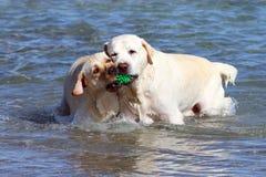 2 желтых labradors играя в море Стоковое фото RF