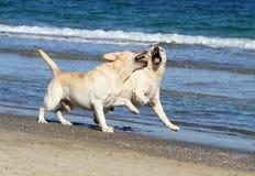 2 желтых labradors на море с шариком Стоковые Фотографии RF