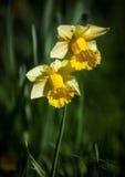 2 желтых narcissus Стоковое Фото