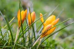 4 желтых striped крокуса Стоковая Фотография RF
