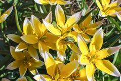 Желт-белое tarda Tulipa тюльпанов стоковые фото