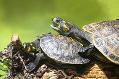 Желт-запятнанные unifilis Podocnemis черепахи Амазонкы Стоковое Фото