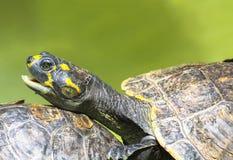 Желт-запятнанные unifilis Podocnemis черепахи Амазонкы Стоковые Изображения