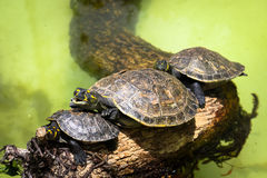 Желт-запятнанные unifilis Podocnemis черепахи Амазонкы na górze ветви дерева Стоковые Изображения