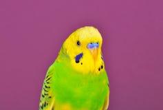 Желт-зеленый конец-вверх попугая budgerig Стоковая Фотография