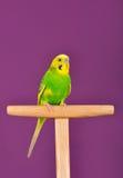Желт-зеленый попугай волнистого попугайчика садить на насест на стойке Стоковые Изображения RF