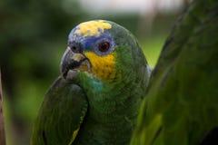 Желт-зеленый попугай джунглей Стоковые Изображения
