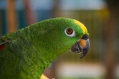 Желт-зеленый попугай джунглей Стоковая Фотография RF
