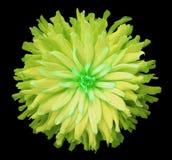 Желт-зеленый цветок на черной предпосылке изолированной с путем клиппирования closeup shaggy цветок осени Стоковое фото RF