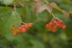 Желт-красные ягоды калины на ветви Стоковое Фото
