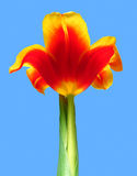 Желт-красный тюльпан против на голубого неба Стоковое фото RF