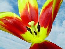 Желт-красный тюльпан против на голубого неба Стоковые Фото