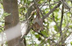 Желт-подогнали frons Lavia летучей мыши на курятнике дня Стоковое Фото