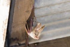 Желт-подогнали frons Lavia летучей мыши на курятнике дня Стоковое Изображение RF